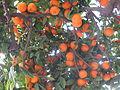 Menton orange tree.jpg