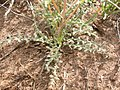 Mentzelia albicaulis (4048557057).jpg