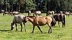 Merfeld, Merfelder Bruch, Dülmener Wildpferde -- 2012 -- 7827.jpg