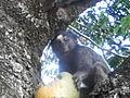 Mico se alimentando em bosque d minas gerais 2014-05-19 11-52.jpg