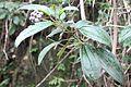 Miconia mirabilis - El Yunque nat park PR IMG 2066.JPG