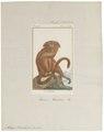 Midas rosalia - 1798-1803 - Print - Iconographia Zoologica - Special Collections University of Amsterdam - UBA01 IZ20200051.tif