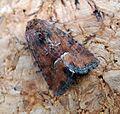 Middle-barred Minor^ Oligia fasciuncula - Flickr - gailhampshire (1).jpg
