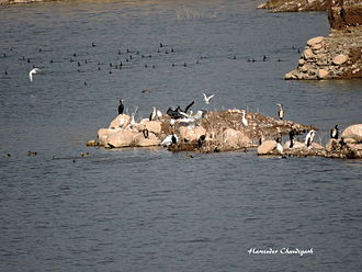 Pinjore -  Migratory birds at Kaushalya dam