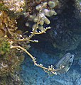 Millepora alcicornis (branching fire corals) (San Salvador Island, Bahamas) 2 (15464096583).jpg