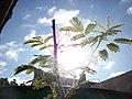 Mimosa-tenuiflora-yellow5.jpg