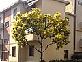 Mimosa Empoli.jpg