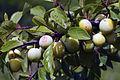 Mirabelles à Hattonchatel (lorraine) Cl J Weber05 (23566761022).jpg