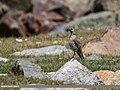Mistle Thrush (Turdus viscivorus) (24769494217).jpg