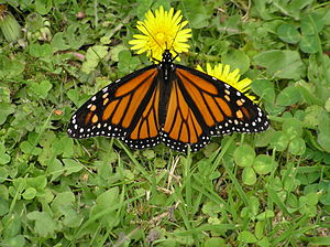 Papanui - Monarch butterflies can be seen in great abundance in St James Park in late autumn and early winter