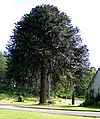 Monkey Puzzle Tree at Loch na Bo - geograph.org.uk - 1376361.jpg