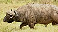 Monster buffalo with caked up mud (43667951555).jpg