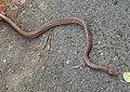 Montane Trinket Snake Coelognathus helena monticollaris by Dr. Raju Kasambe DSCN5610 (5).jpg