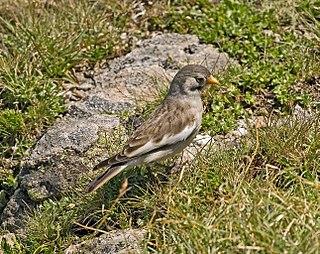 <i>Montifringilla</i> genus of birds