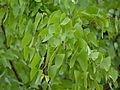 Mopane (Colophospermum mopane) leaves (11683653383).jpg