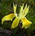 Moraea fugax Rondebosch common (4).jpg