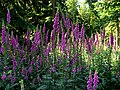 More foxgloves, Woodland near Basildon - geograph.org.uk - 21206.jpg