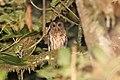 Mottled Owl (Ciccaba virgata) (5772425268).jpg