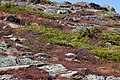 Mount Washington hillside Flora (6236683537).jpg