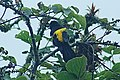 Mountain Cacique (Golden-shouldered) (Cacicus chrysonotus) 2015-06-16 (3) (40284295692).jpg