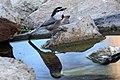 Mountain Chickadee (15241118482).jpg