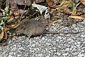 Mouse - Flickr - GregTheBusker (1).jpg