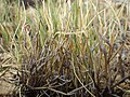 Muhlenbergia richardsonis (7882030676).jpg