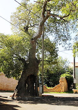 The mediterranean Ladonja tree , C. australis (planted in the early 16th century).