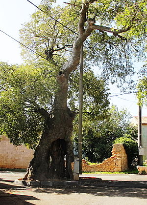 Muntic - The mediterranean Ladonja tree , C. australis (planted in the early 16th century).