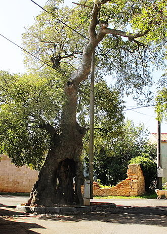Muntić - The mediterranean Ladonja tree , C. australis (planted in the early 16th century).