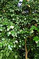 Murraya paniculata kz2.jpg