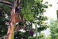 Musa acuminata 5zz.jpg