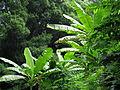 Musa paradissiana Edible Banana ბანანი.JPG