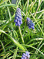 Muscari neglectum0.jpg