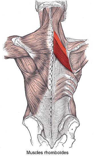 Rhomboid muscles - Image: Muscles rhomboïdes