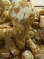 Mushroom from Achhro Thar Desert, Sindh.jpg