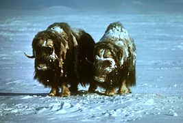 Musk oxen animals on snow ovibos moschatus.jpg