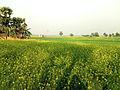 Mustard plantation.jpg
