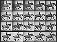 Muybridge, Eadweard - Hansel mit Reiter (0.36 Sekunden) (Zeno Fotografie).jpg