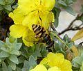 Myathropa florea - Flickr - gailhampshire (8).jpg