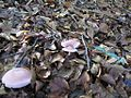Mycena rosea s Vlasine 5.JPG