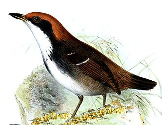 White-browed antbird - Female of the nominate subspecies
