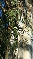 Myrtales - Eucalyptus dalrympleana 15.jpg