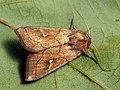 Mythimna conigera - Brown-line bright-eye - Полосатая совка жёлто-бурая (39265877740).jpg