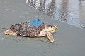 NC Aquarium Turtle Release - 9-15-07 - NC Aquarium photo.jpg