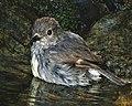 NZ Robin (8474811977).jpg