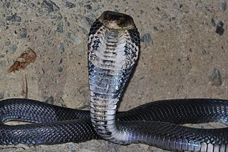 Chinese cobra species of reptile