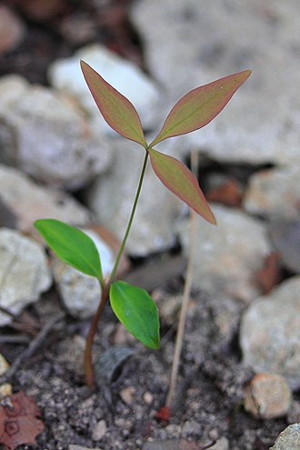 "Seedling - Seedling of a dicot, Nandina domestica, showing two green cotyledon leaves, and the first ""true"" leaf with its distinct leaflets and red-green color."