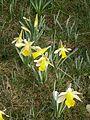 Narcissus pseudonarcissus group RHu.JPG