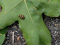 Natuurpark Lelystad - Schaakbordlieveheersbeestje (Propylea quatuordecimpunctata).jpg